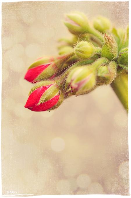 macro fleur
