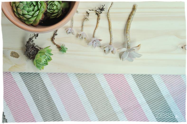 bouturer succulentes